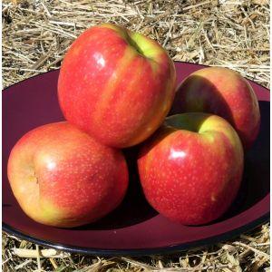 Pink Lady Apple Tree, buy Pink Lady Apple Tree