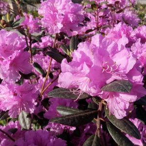 PJM Rhododendron Close Up
