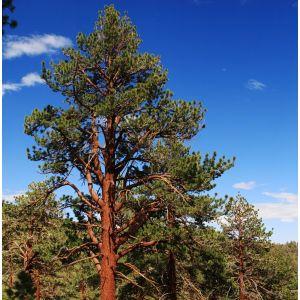 Ponderosa Pine Overview