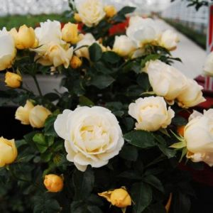Popcorn Drift® Rose blooms and foliage