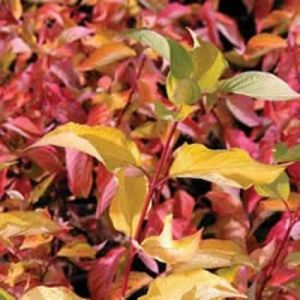 Prairie Fire Dogwood leaves turning red