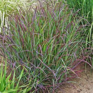 cheyenne sky red switch grass in landscape