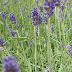 Provence Lavender Overview