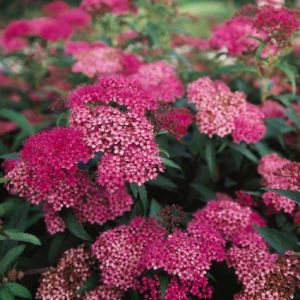 Anthony Waterer Spirea Overview