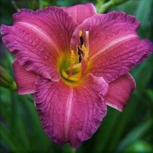 Purple D' Oro Daylily single bloom