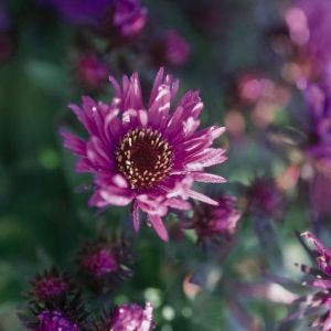 Purple Dome New England Aster Overview