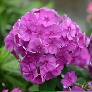 Purple Flame Phlox Overview