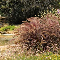 Purple Fountain Grass Side View