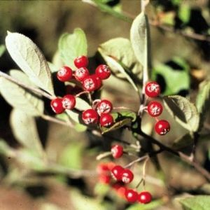 Red Chokeberry Fruit