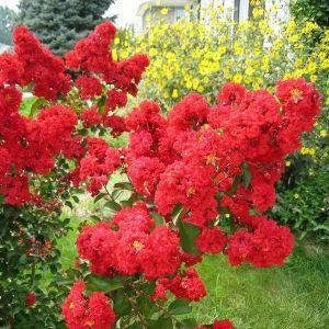 Red Crape Myrtle Tree