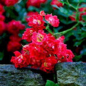 Red Drift Rose Flower