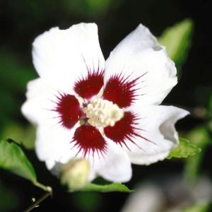 Red Heart Rose of Sharon Overview