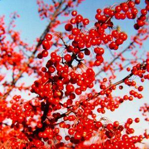 Red jewel crabapple fruit