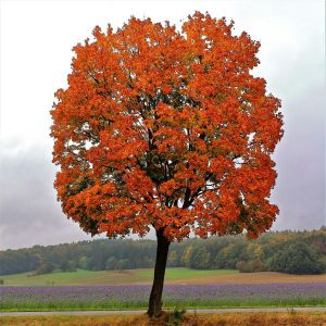 Red Maple Tree Overview