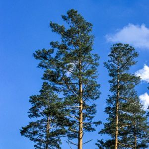 Red Pine Tree Tops