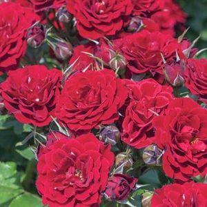 Red Sunblaze® Rose blossoms