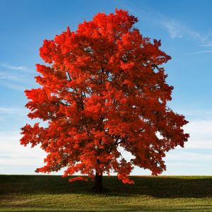 Red Sunset Maple Overview Fall Color