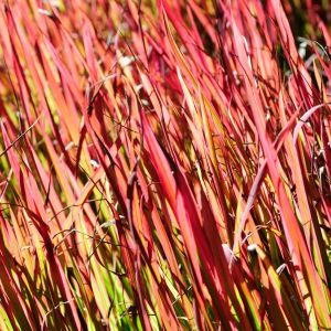 Red Switch Grass Overview