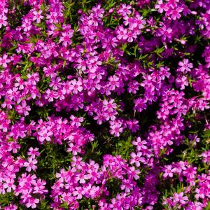 Red Wings Creeping Phlox Overview
