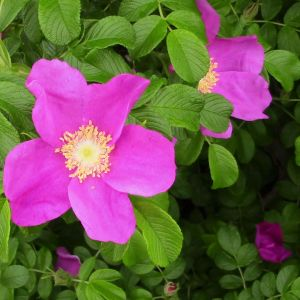 Pink Rugosa Rose blooms and foliage
