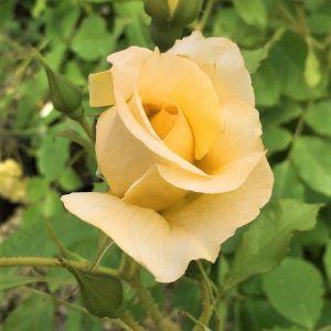 Autumn Sunset® Climbing Rose Close Up