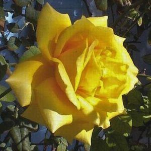 Royal Gold Climbing Rose bloom