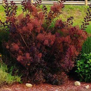 Royal Purple Smokebush Overview