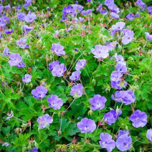 Rozanne Geranium Flowers