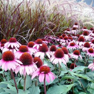 Ruby Star Coneflower Overview