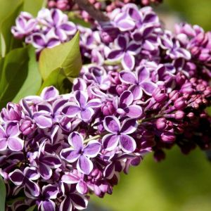 Sensation Lilac pinstriped blossoms close up