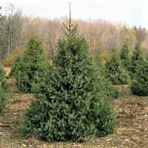 Serbian Spruce Overview