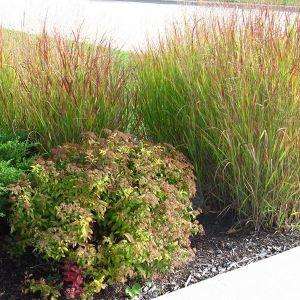 Shenandoah Switch Grass landscape