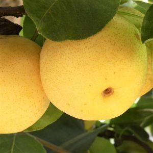 Shinseiki Pear Close Up