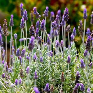 Silver Mist English Lavender closeup