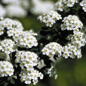 Snowmound Spirea Flowers