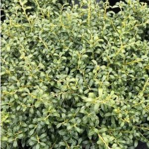 Soft Touch Japanese Holly foliage