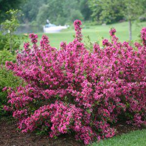 Sonic Bloom® Pink Weigela shrubs