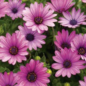 Soprano Purple Daisy overview