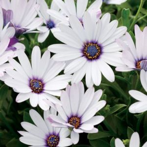 Soprano White Improved Daisy blooms and foliage