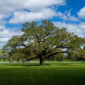 Southern Live Oak Overview