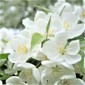 Spring Snow Crabapple Flower Details
