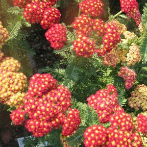 Strawberry Seduction Yarrow blooms and foliage