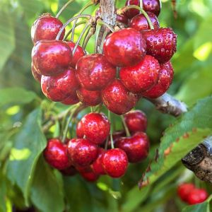 Stella Cherry Tree Overview