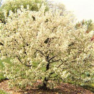 Sugar Tyme Crabapple White Tree