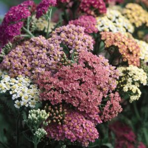 Summer Pastel Yarrow overview