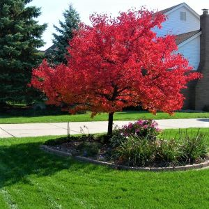 Summer Red Maple Tree Overview