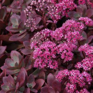 SunSparkler® Firecracker Sedum blooms