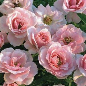 Sweet Sunblaze Rose Overview