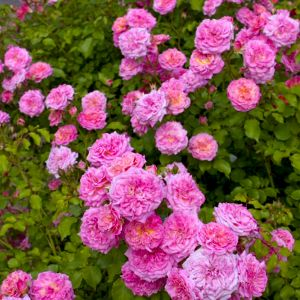 Sweet Drift Rose Overview