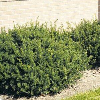 Taunton Spreading Yew shrub